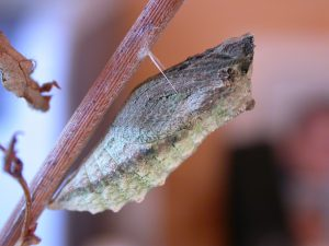 Swallowtail Chrysalid