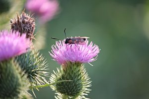 Insect on Thistle Flower